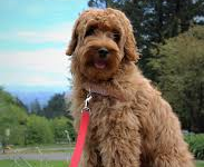 Ultimutt Dog - The Doodle